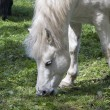 White Horse Eating - Stock Photo