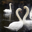 Heart shape Swans — Foto de Stock
