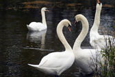 Heart shape Swans — Stock Photo
