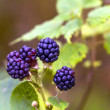 Fresh wild Brambles — Stock Photo #14200795