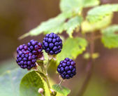 Fresh wild Brambles — Stock Photo