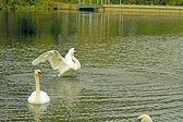 Swan stretching — Stock Photo