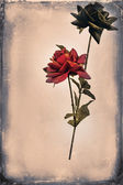 Pretty Red and black roses on white — Stock Photo