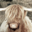 Royalty-Free Stock Photo: Highland Cow with good hair