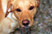 Close up view of a Labrador — Stock Photo