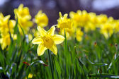 Dafodil dancing in the afternoon Sun — Stock Photo