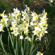 Wild daffodil — Stock Video