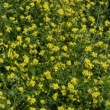 Hoary Mustard, Hirschfeldia incana - Stock Photo