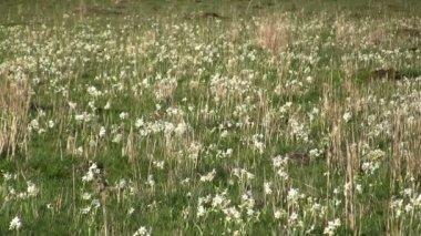 Field of wild daffodil — Stock Video