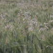 Oat in wheat field - Stock Photo