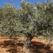 Olives on the tree in orchard — Stock Video
