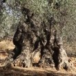 1000 year old olive tree in orchard - Stock Photo