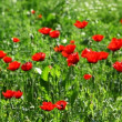 Wild poppies and other flowers - Stock Photo