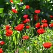 Stock Video: Wild poppies and other flowers