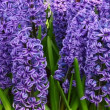 Beautiful hyacinth - Stock fotografie