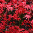 red tree ruben, acer palmatum — Stock Video
