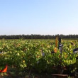 Vineyard vintage in Israel at sunrise - 图库照片