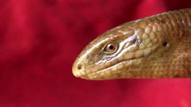 Sad smile of Scheltopusik (Ophisaurus apodus) — Wideo stockowe