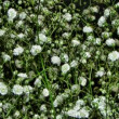 Blooming flowers of Gypsophila paniculata time lapse - Stock Photo