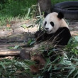 Giant Panda — Video Stock
