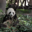 giant panda — Stock Video