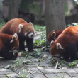 Red Panda — Stock video