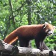 Red Panda — Stock Video #21614921