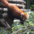 panda rosso — Video Stock #21614947