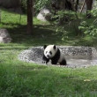 Giant Panda — Stock video #21615023