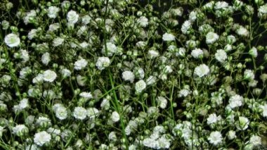 Blooming flowers of Gypsophila paniculata time lapse — Stock Video