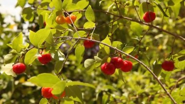 Pitanga The Surinam Cherry, Brazilian Cherry, Cayenne Cherry, Eugenia uniflora — Stock Video