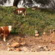 Cows in landmine field in Golan Heights, Israel - Stock Photo