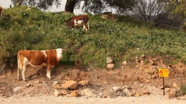 Cows in landmine field in Golan Heights, Israel — Stock Video