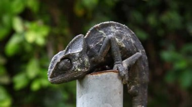 Common Chameleon - Chamaeleo chamaeleon, lizard — Stock Video