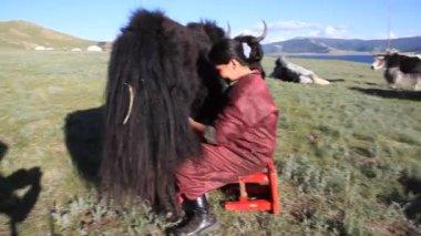 женщина доит як — Стоковое видео