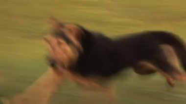 Dog runs alongside — Stock Video