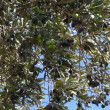 Olives on the branch of a tree — Stock Video