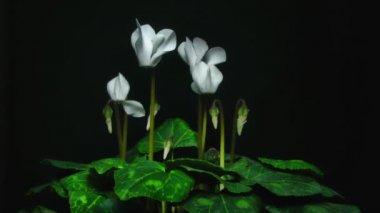 Cyclamen flowers — Stock Video