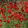 Wild Poppy - Stock Photo