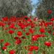 Wild Poppy and olive trees — Stock Video