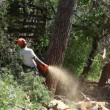 Stock Video: Lumberjack cuts pine tree with chainsaw after storm