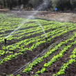 Vegetables in the field and garden bed with sprinklers - Stockfoto