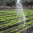 Vegetables in the field and garden bed with sprinklers - Stock Photo