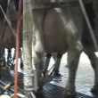 Cow milking in Dairy — Stock Video