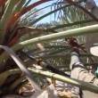 Working in the date palm tree Phoenix dactylifera — Stock Video