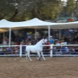 Handler shows off his fine Arabian horse during the national championship — Stock Video