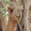 Camels chewing after eating from tree in oasis in the desert - Stock Photo