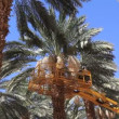 Canopying in the date palm tree Phoenix dactylifera - 