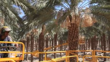 Working in the date palm tree Phoenix dactylifera — Stock Video