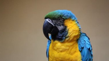 Cute colorful parrot — Vídeo Stock